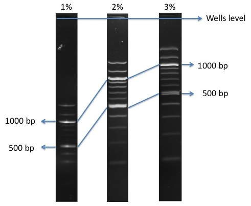 Image:100 bp DNA ladder.jpg