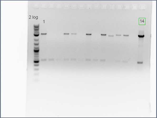 File:30 colony PCR 1.jpg