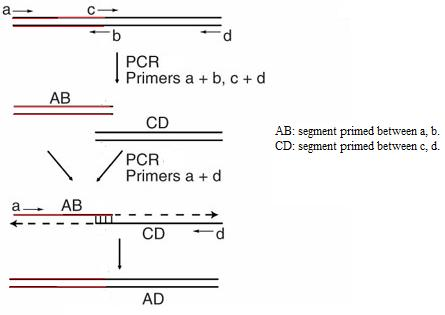 Overlapping PCR