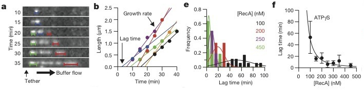 Figure 2: a) Visualization of individual loci of nucleation and growth over time b) Plot of growth rate and extrapolated lag time e) Plot of nucleation frequency vs lag time at various concentrations of RecA f) Lag time as a function of RecA concentration