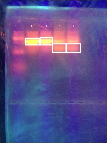 File:Electrophoresis1.jpg