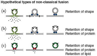 During kiss-and-run, various fusion methods are possible depending on the components of the synaptic vesicle that are retained.  Figure taken from Harata et al, 2006