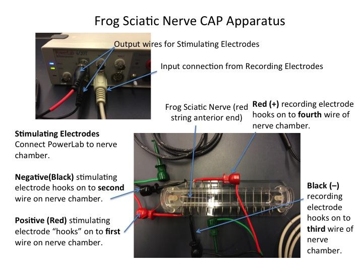 Frog Nerve Setup.jpg