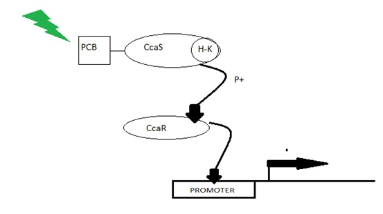 CcaS and CcaR mechanism