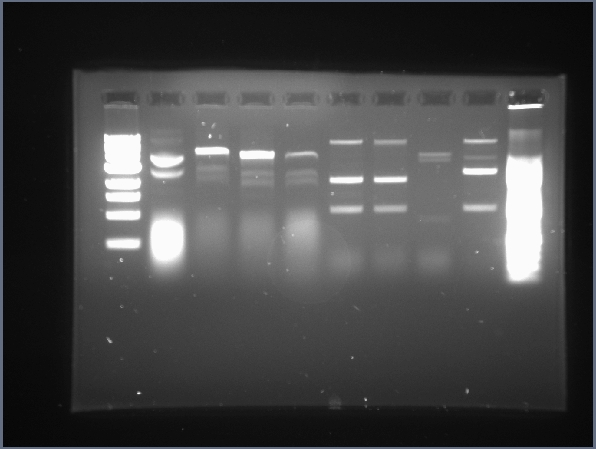 File:UIUC 7.1 Plasmid Digests with E,P & X,S (2-3.0et).jpg