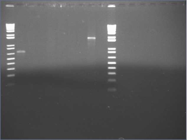 File:10-4 PCR gel PT.jpg