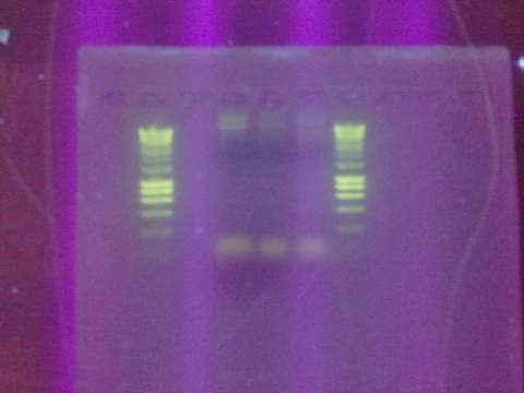 Alpha 4 re-PCR.jpeg