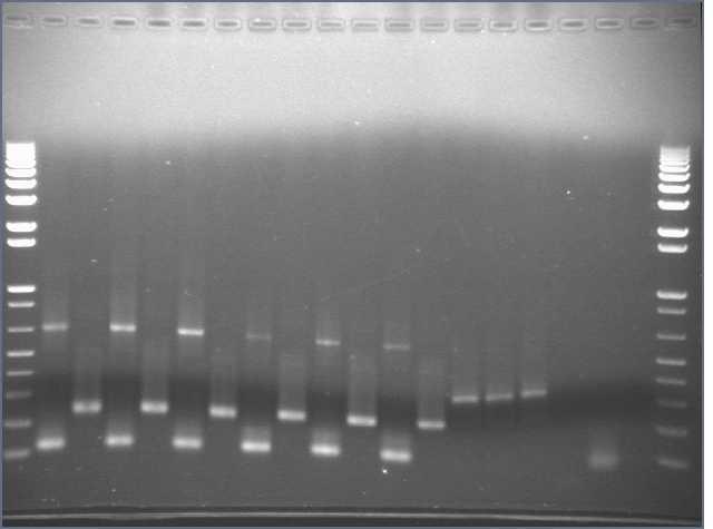 File:7-19 PCR gel2.jpg