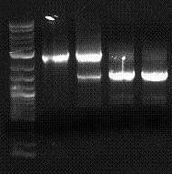 Colony PCR of Q04740 colonies, E0040F-E1010R.  Two red and two white colonies.  Region should be ~1.6 kb.  Red colonies ~3 kb (transposable element jumped in).  White colonies ~1.6 kb.