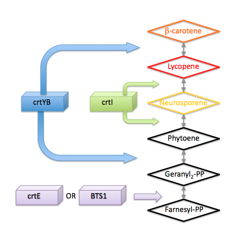 Image:Metabolic Pathway for b-carotene.png