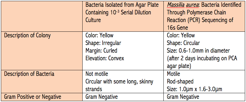 The above table organizes observations about the first bacterium observed from Transect 5 and the bacterium Massilia aura. The information about Massilia aura was gathered from reference #1 in the references.