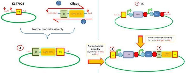 File:LacI testing construct.JPG