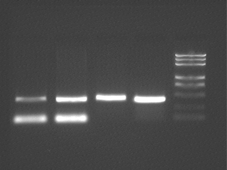 Peking 2007-7-31 PCR purflication oriT.jpg