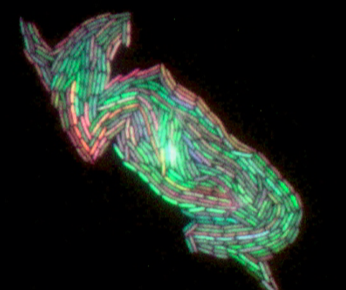 File:3color bacteria.png