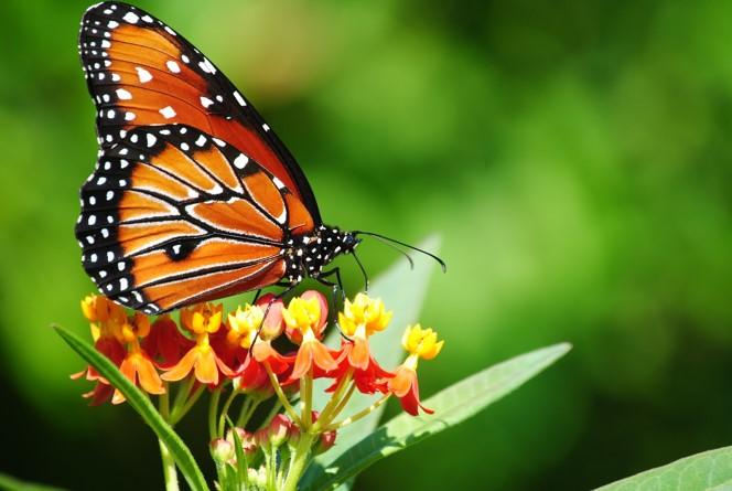 File:Butterfly123.jpg