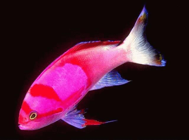 Image:ColorfulFish-anthias.jpg