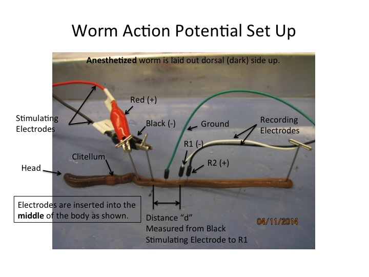 File:Worm Electrode Setup1.jpg.jpg