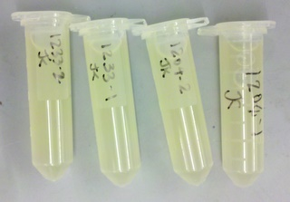 Eppendorf tubes that contain media with E. coli colonies for parts pBca9525-sbb1223 (the leftmost two) and pBca9525-sbb1204 (the rightmost two).