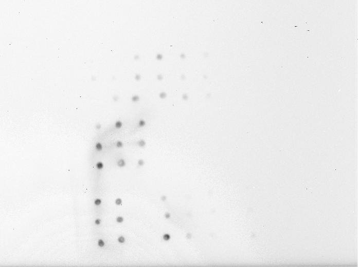 File:100709 dot blot scfv 0.5ul 2nd set of cells.jpg