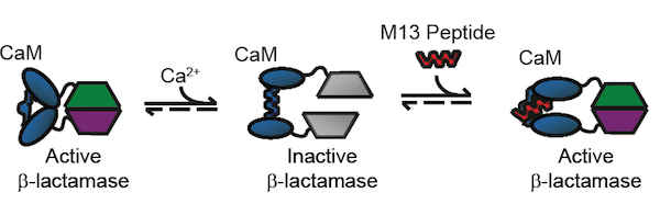 The conformational changes and resulting β-lactamase activity of the BlaCaM protein