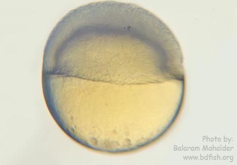 Epibolyfigure1.png