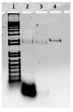 Fig. 58. 1) 100 KB DNA ladder, 2) non-purified plate, 3) purified plate, 4) control M13