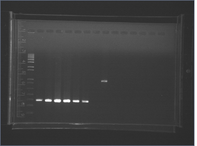 File:2006-8-2 entire sequence PCR.jpg