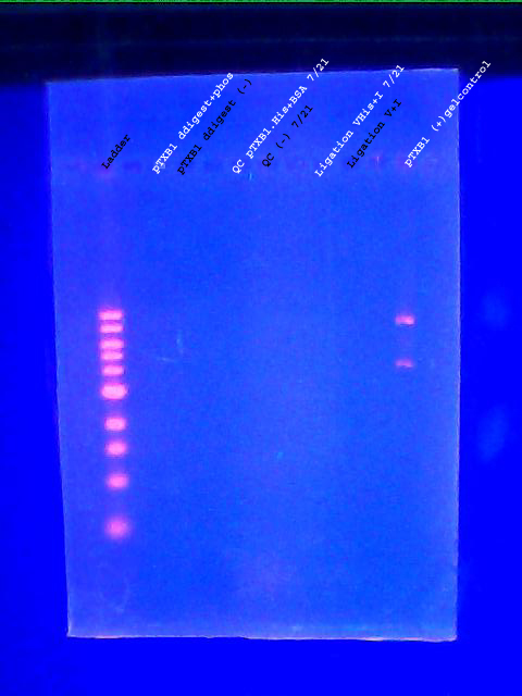 Analytical gel 07252011labeled.jpg