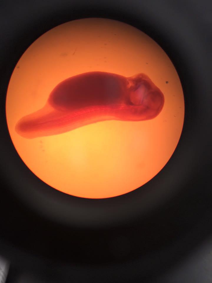 Frog embryo 4.jpg