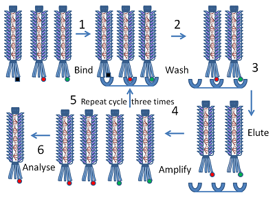 File:Phage display protocol.png