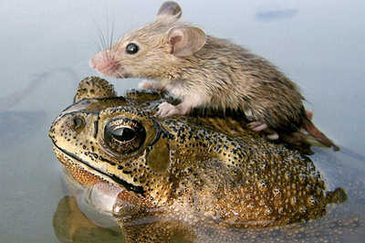 File:Frog and mouse.jpg