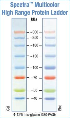 File:Spectra Multicolor High Range Protein Ladder - Fermentas.jpg
