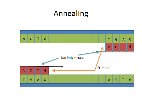 Image:Annealing DNA.jpg