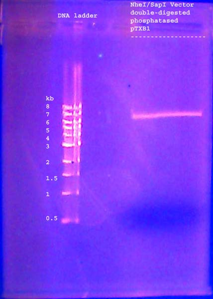 File:DNA gel 110621 purification 002 annotated.jpg