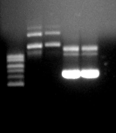 File:PhoA-lacZ-plasmid-preps-from-mobley-cultures-second-2-12-07.jpg