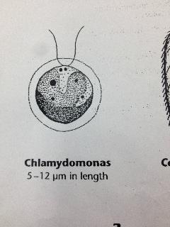 Chlamydomas.jpg