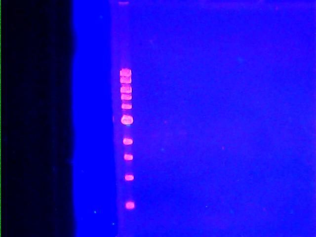 DNA gel picture - Septeember 2011.jpg