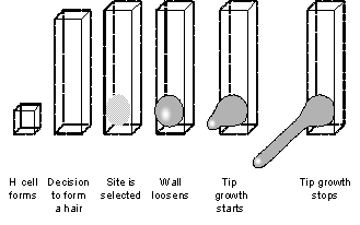 Figure 3. Schematic diagram showing sequence of root hair development.  Commitment to form a hair is made very late, after elongation is almost complete.  ROP small GTPases appear in a patch at the site where the hair will form.  A patch of cell wall about 20 microns high and 10 microns across loosens and bulges out.  Specialised machinery for tip growth assembles in the bulge and the hair starts to grow.  Tip growth stops once hairs reach their final length typically 0.7 – 1.0 mm.