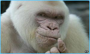 Albino gorilla.jpg