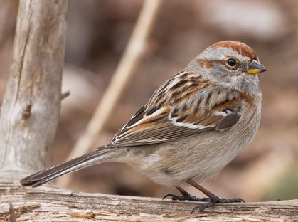 File:AmericanTreeSparrow.png