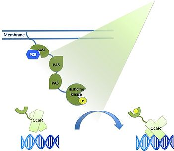 Green Light Responsive expression system. Presence of green light (532 nm) initiates a phosphorylation cascade from the CcaS receptor complex to the CcaR regulator protein. In its phosphorylated state, CcaR selectively couples cpcG2 and activates gene transcription. Source: http://2011.igem.org/Team:Freiburg.