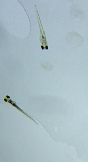File:Zebrafish2.jpg