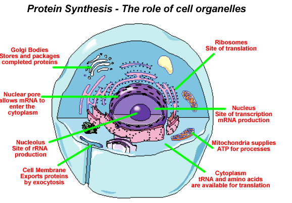 File:Cell-based protein synthesis.png