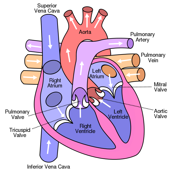 Image:Blood Flow Through The Heart S11.jpg