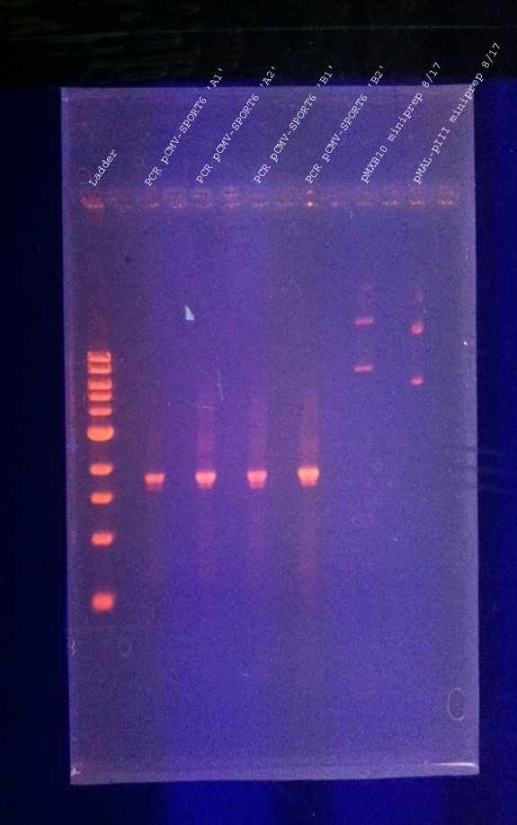 DNAgel 8.17.2011 testPCR labeled.jpg