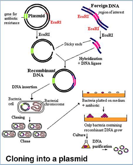 150212pjh gene cloning.jpg