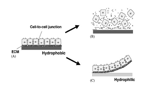 Figure 1: (A) PIPAAm cultured cells at 37°C (B) Trypsin digestion results in a slurry of cells and cleaved junction proteins (C) Adding water and cooling the culture to 32°C results in a cell sheet supported by intact cell-cell and cell-ECM adhesion proteins [2]