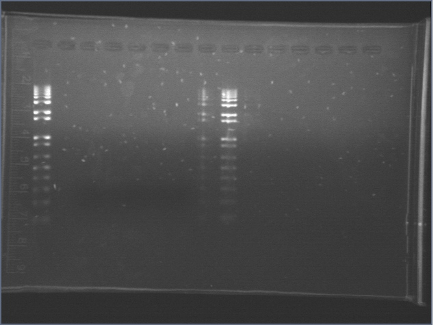 File:2006717 PCR Gel Small 2.jpg