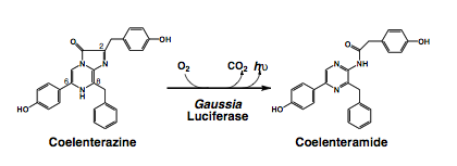 Catalysis of luciferin coelentarazine
