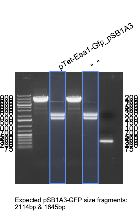 File:2015-04-07 pTet-EsaI-GFP pSB1A3 gel annotated.png